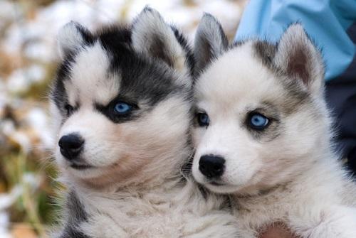 Прежде чем купить хаски: 9 правил как выбрать щенка