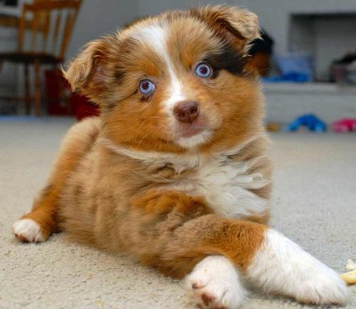 17 лучших собак для охраны частного дома: породы средних, маленьких и больших размеров