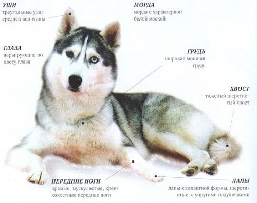 Эти волшебные хаски: самое подробное описание породы и характеристика с фото