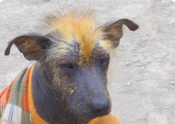 14 породы собак без запаха псины: неужели и вправду не пахнут и не линяют?
