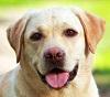 Великие клички для собак больших пород: +100 имен