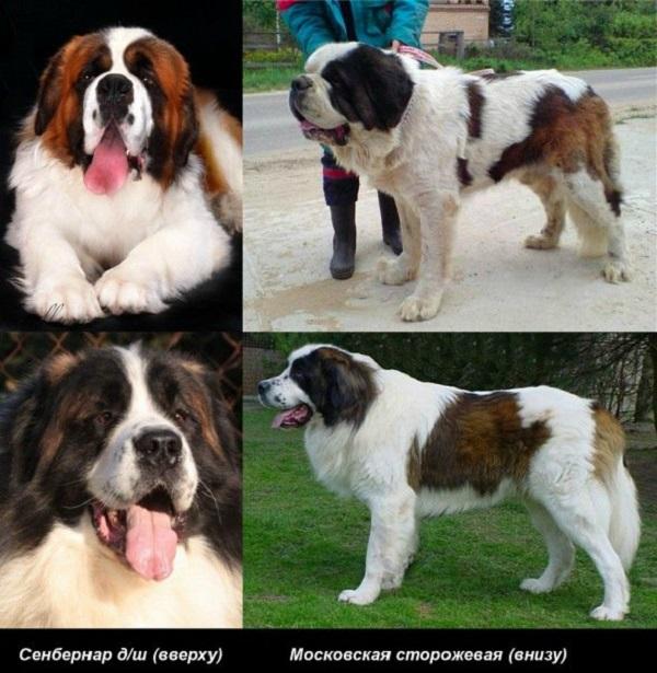 Гордость России: московская сторожевая собака с фото, подробной характеристикой и описанием породы