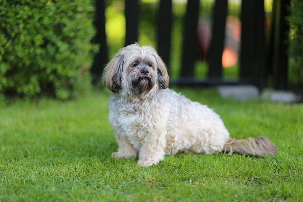 Dog-Lhasa_Apso-A_beautiful_little_Lhasa_Apso_sitting_patienly_waiting_for_a_command.jpg