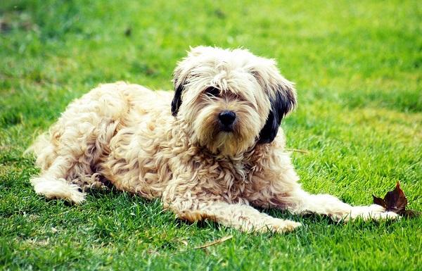 Самые гипоаллергенные собаки: 19 пород не вызывающих аллергию у людей