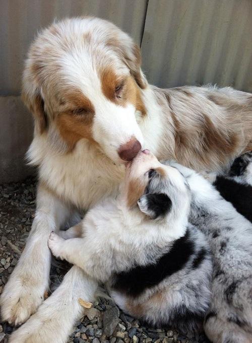 Когда в животном много счастья: чем кормить беременную собаку и после родов?