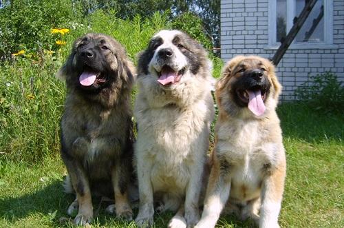Вместо сигнализации: сторожевые породы собак