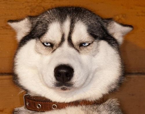 Выбираем клички для хаски: как круто назвать собаку?