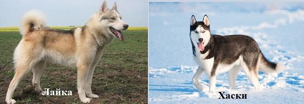 Как быстро понять, чем отличаются хаски от лайки: 12 фото сравнений