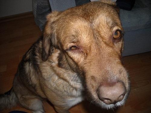 Коротко о важном: что делать, если у собаки гноятся глаза?
