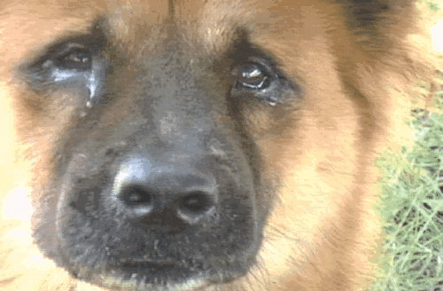 Око Саурона: красные глаза у собаки - причины и грамотное лечение в домашних условиях