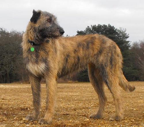 Милый Гаргантюа: ирландский волкодав - описание и характеристика породы, цена и фото с человеком