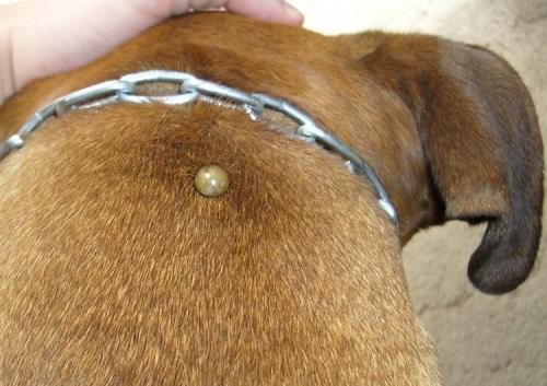 Важно знать хорошему хозяину: болеют ли собаки человеческими болезнями?