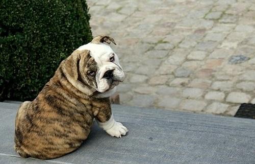Джентльмен среди собак: английский бульдог