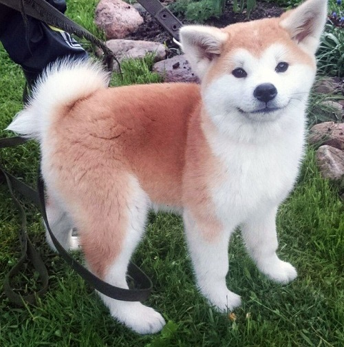 """""""Золотые"""" породы: самая дорогая собака в мире"""