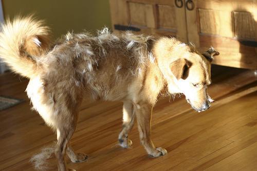 Шерсть повсюду, несите пылесос: линька у собак