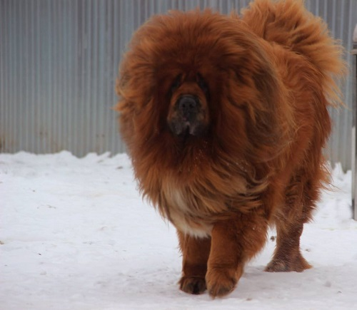 Умный, сильный и надежный друг: тибетский мастиф
