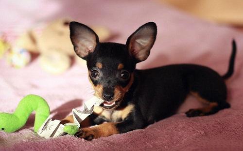 Большое сердце в маленьком теле: пражский крысарик