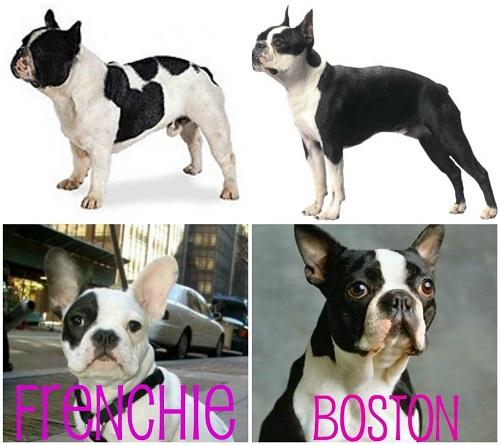 Дружелюбный и неприхотливый компаньон - бостон-терьер