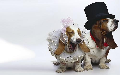 Бассет-хаунд: какой нрав скрывается за грустной собачьей мордашкой?