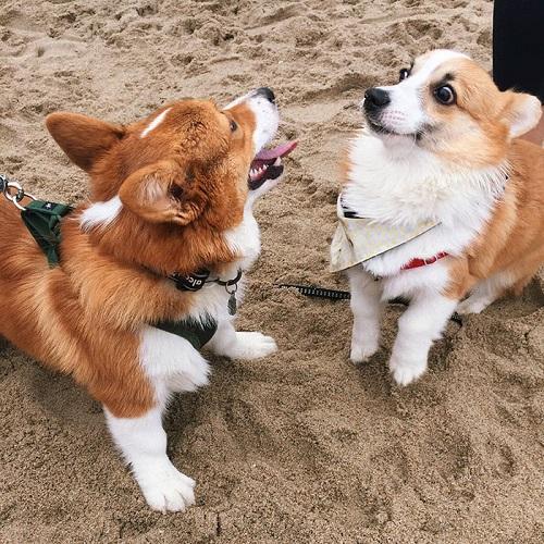 Самый улыбчивые собаки на свете: вельш-корги пемброк