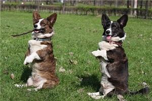 Собака-очарование: вельш корги кардиган
