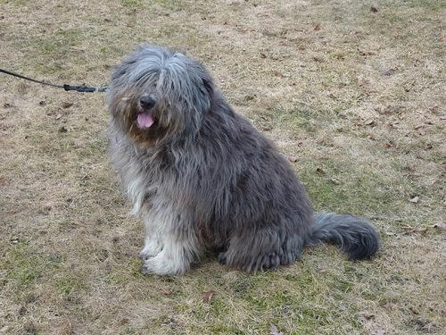 Собака с дредами: бергамская овчарка