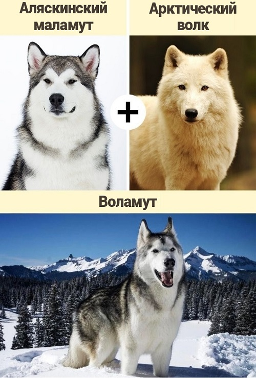 Отважные защитники или опасные хищники: гибрид собаки и волка - волкособ