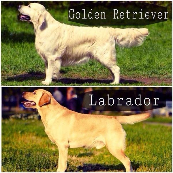 Золотистый ретривер или лабрадор?